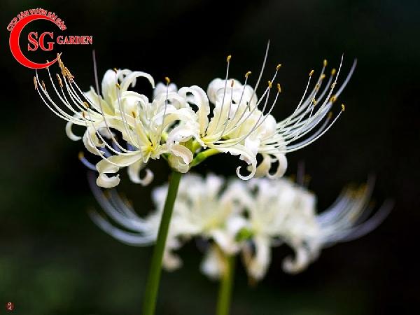 hoa bỉ ngạn 11