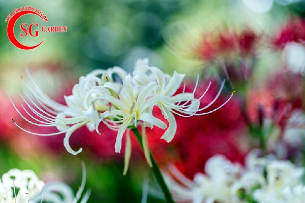 hoa bỉ ngạn 12