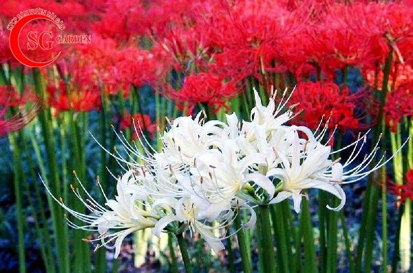 hoa bỉ ngạn 14