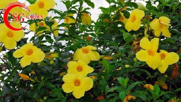 hoa leo hoang thảo