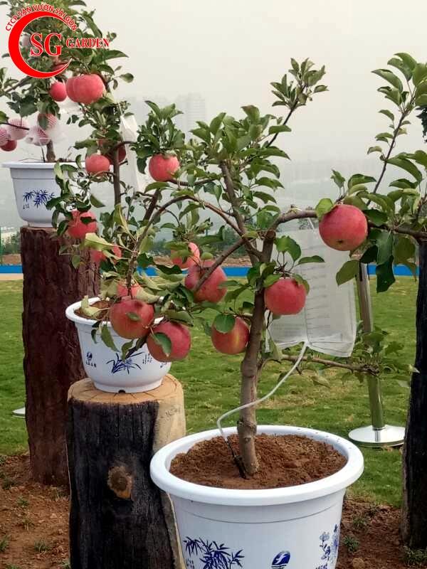 cây táo