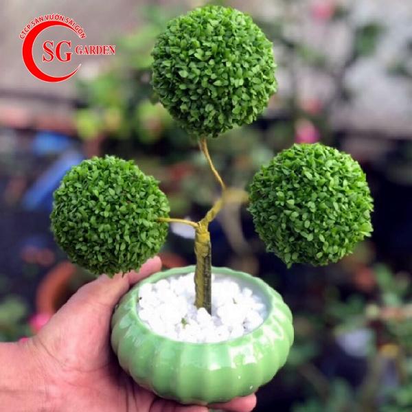 cây may mắn 3