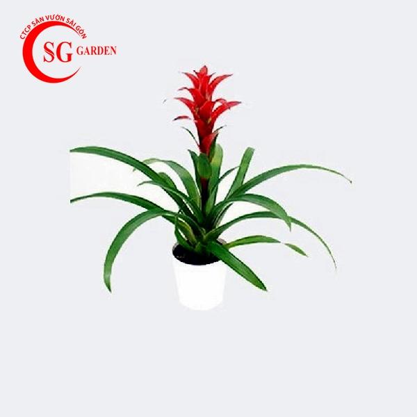 cây phong lộc hoa 3