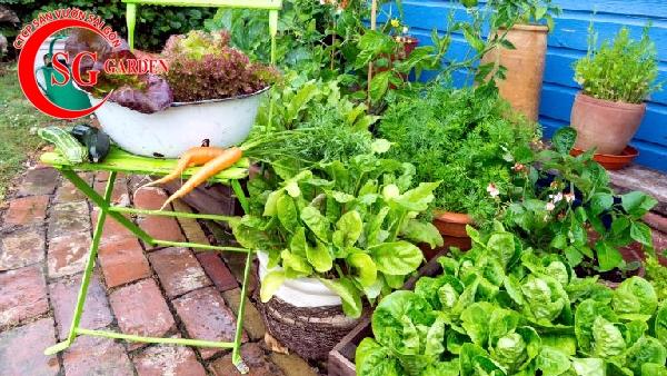 vườn rau nhà phố 6