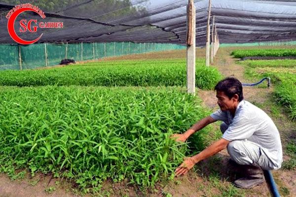 cách trồng vườn rau muống 1
