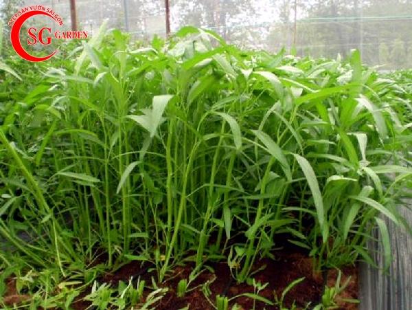 cách trồng vườn rau muống 3