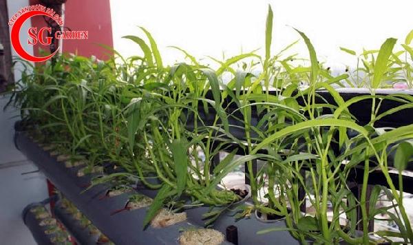 cách trồng vườn rau muống 7