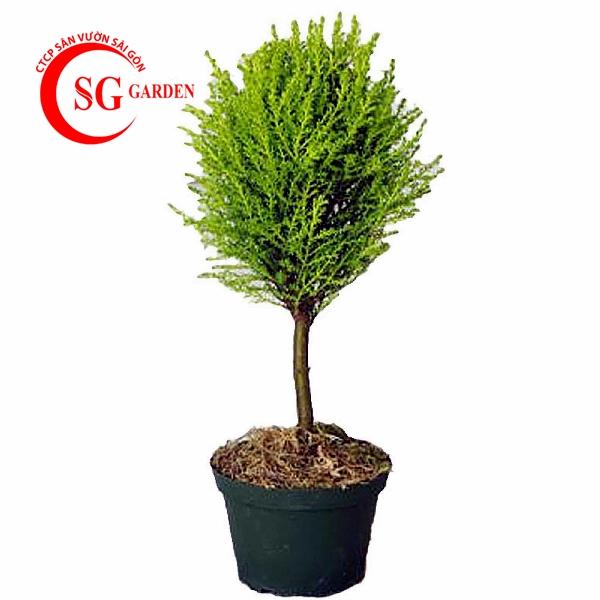 cây tùng thơm 6