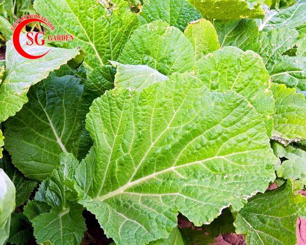 hạt giống cây cải 5