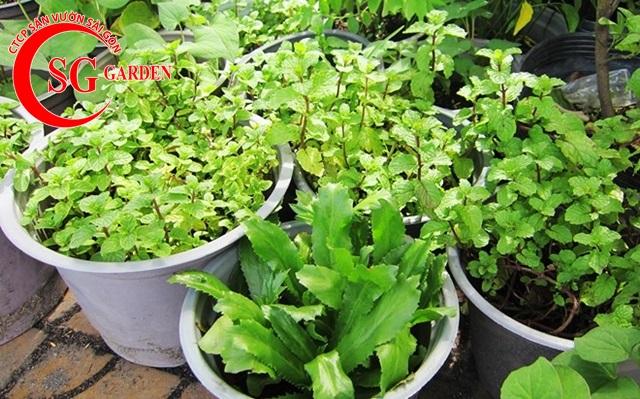 thi công vườn rau thơm 5