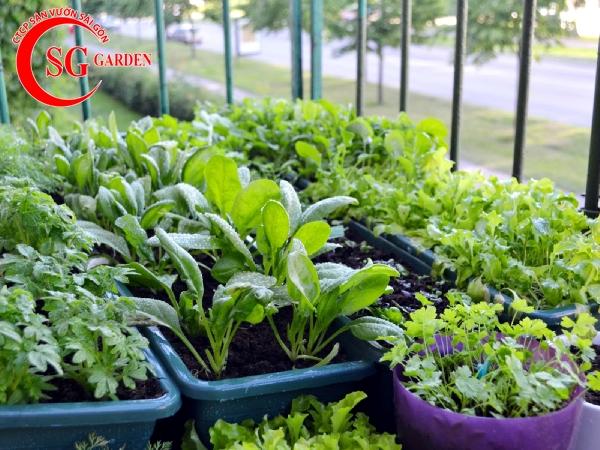 vườn rau nhà phố 8