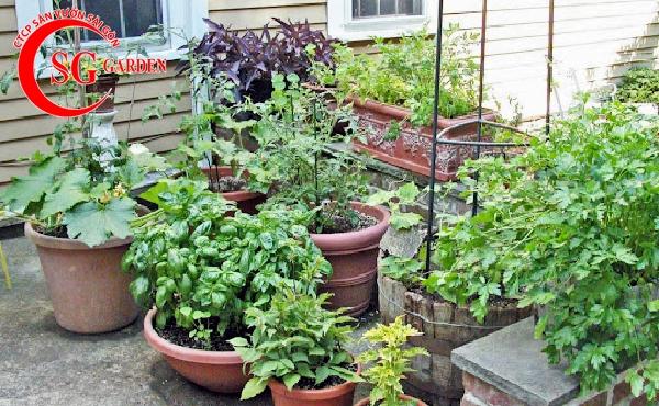 vườn rau nhà phố 9