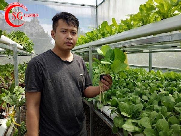 vườn cải thủy canh 2