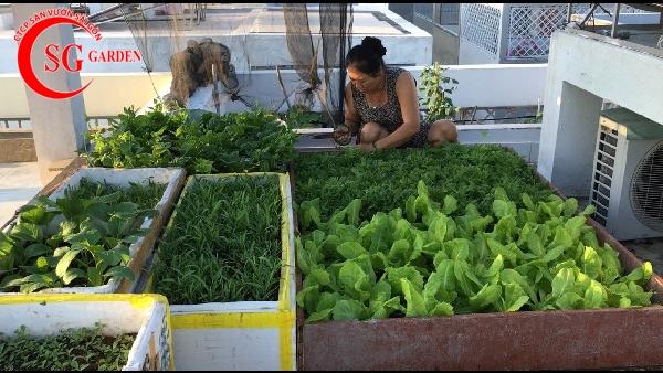 vườn rau sân thượng 13