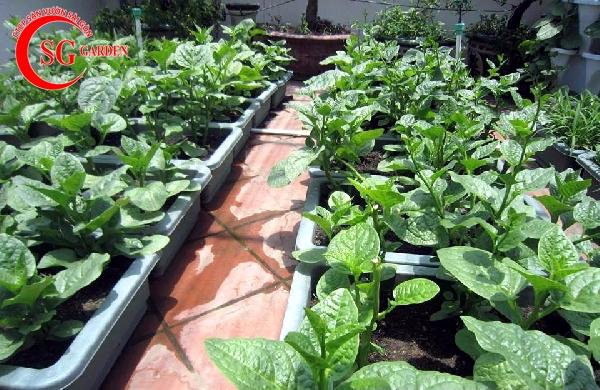 vườn rau sân thượng 21